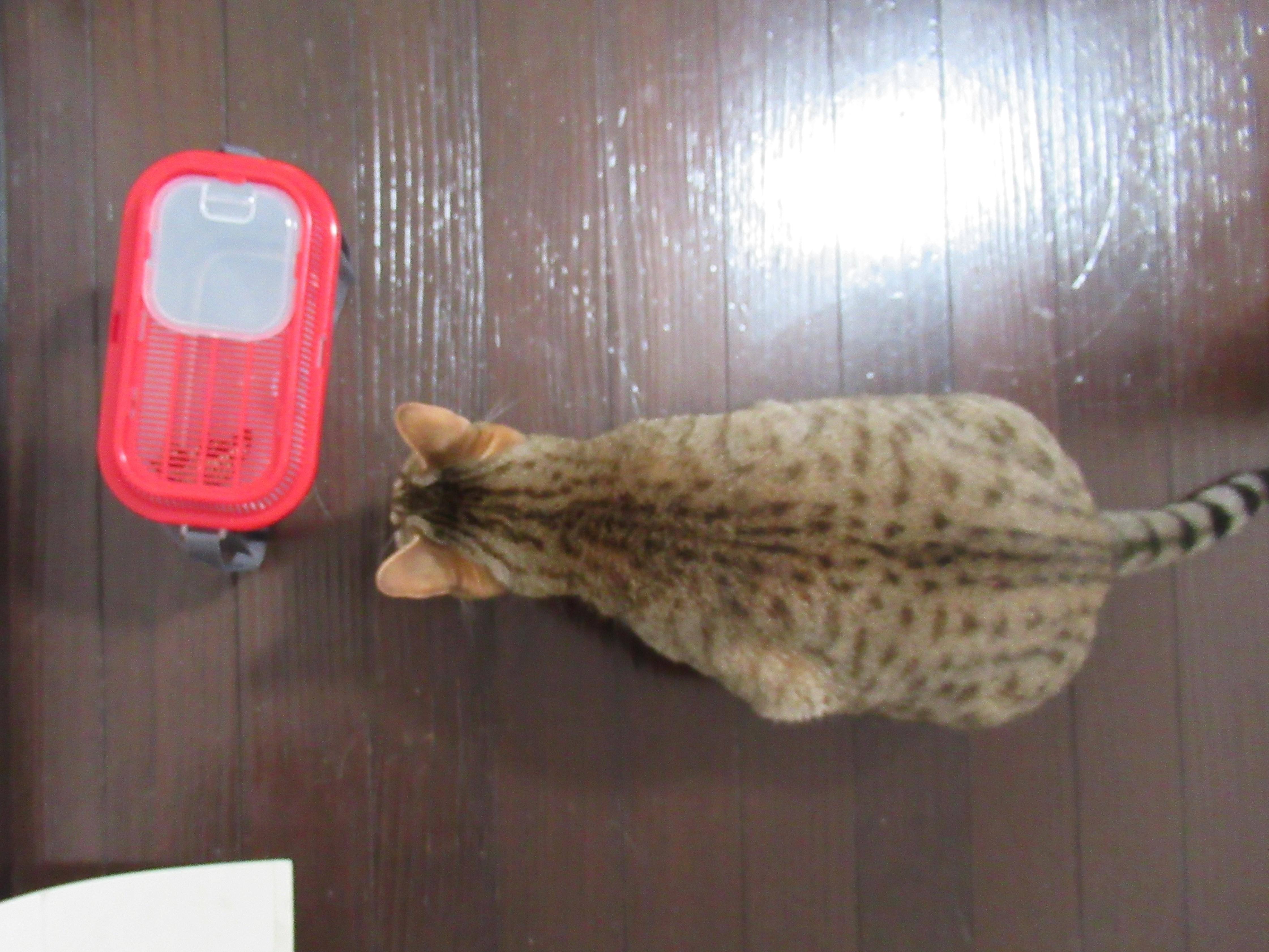 我が家のねこ|ネコとちょうちょ